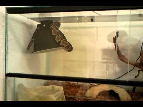 My little python regius