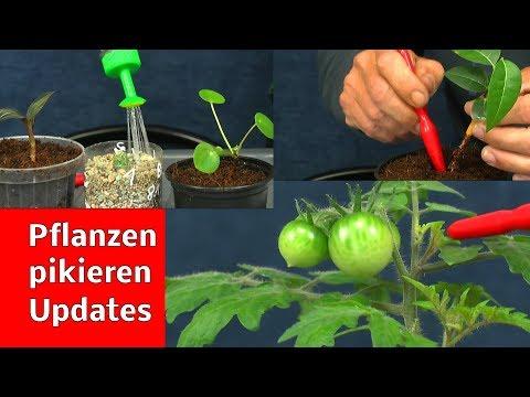Pflanzen pikieren Exoten in der Anzucht auch zur Hydroponik vorbereiten Gemüse im Haus