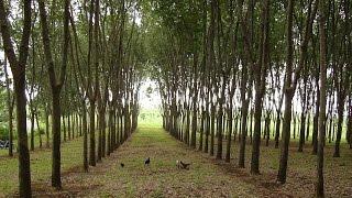 Tempat Wisata alam kebun karet yang masih jarang di kunjungi.(jalan jalan kota semarang)