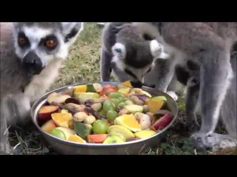 Sześć Lemurów Urodziło Się W Zoo We Wrocławiu