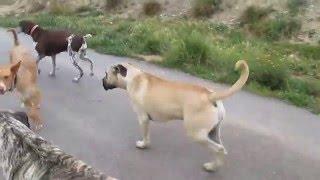 Ayko en andere honden, Asoka Castalla, 080416