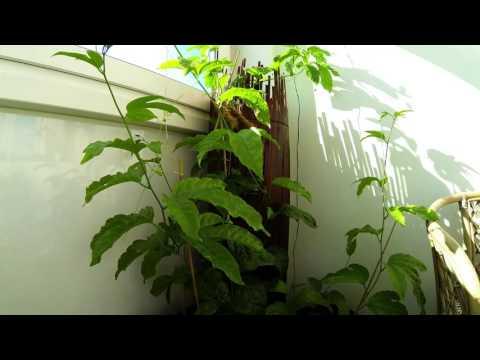 Passiflora edulis Maracuja 9 Tage timelaps