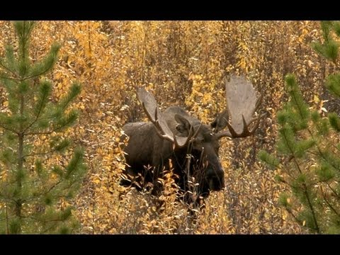 Moose Hunt - Chasse Orignal Yukon 7