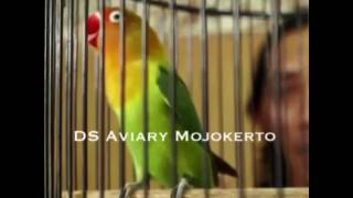 Download Lagu Putri Majapahit (2) DS Aviary Mojokerto- Juara 1 Love Bird Pesiden Cup 2016 Gratis STAFABAND