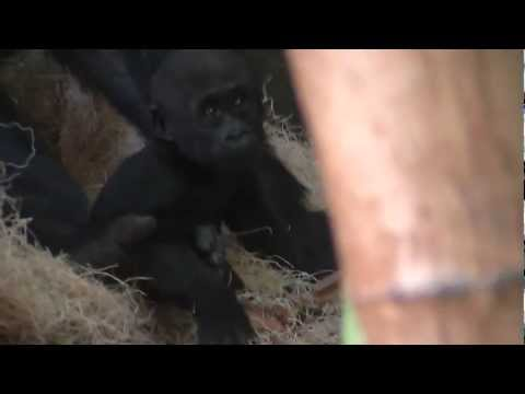 Baby Gorilla Nayembi at Lincoln Park Zoo