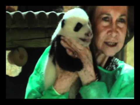 Los mimos de la Reina a los Osos Panda   Zoo Madrid