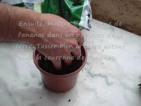 Comment faire pousser un ananas youtube - Faire pousser un bananier ...