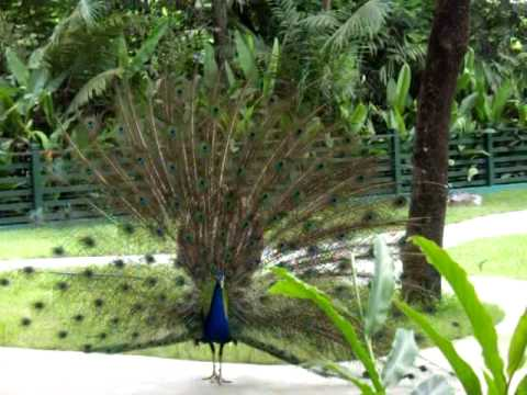 Indian Blue Peacock (bangkok, Thailand) video