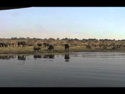 Elephants drinking from the Chobe River.