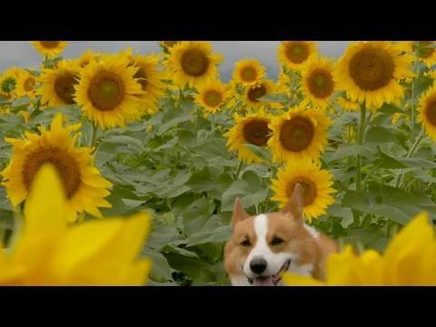 (HD) Sunflowers / ひまわり 20100812 Goro@Welsh corgi