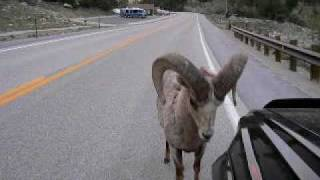 Bam Bam, the Bighorn Sheep Attacks Toyota 4Runner : RAMbunctious