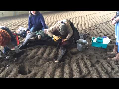*graphic* Equine Castration With The Henderson video