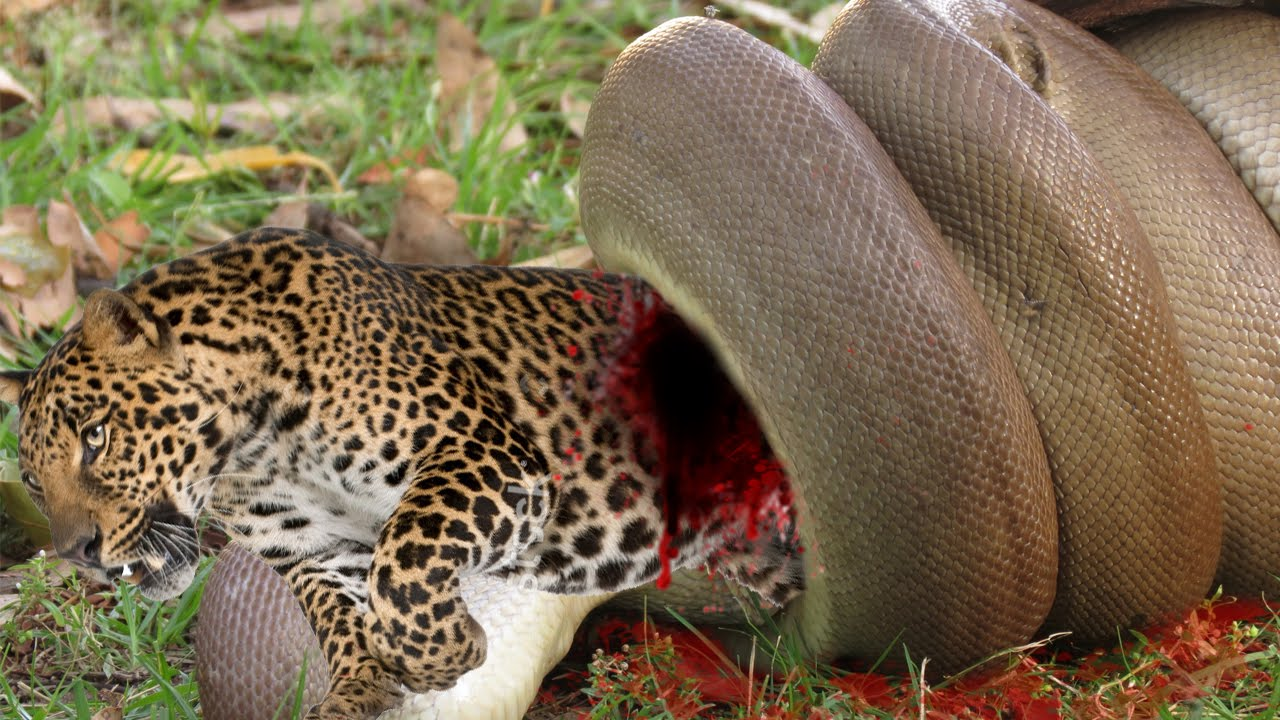 Python eating lion