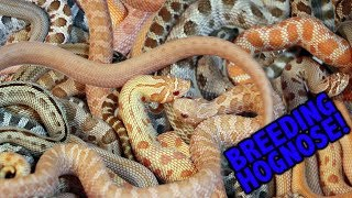 How to breed HOGNOSE SNAKES with Joe Schmidt!