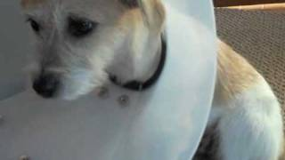 Cute Puppy vs. Cone of Shame  vs. WaterBottle