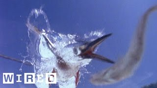 Fish Think They're Safe From Birds But the Kingfisher Is Like LOL | Absurd Creatures