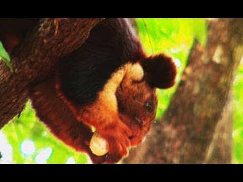 Malabar Giant Squirrel in Wayanad, Kerala
