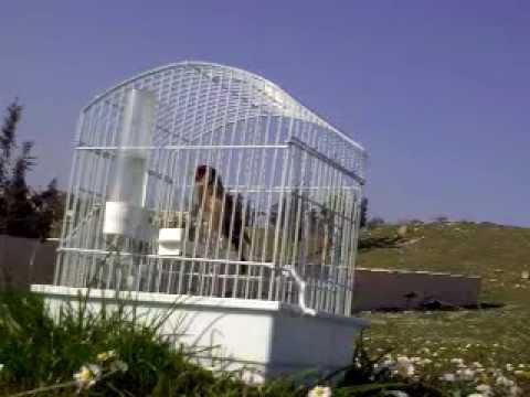 ( Goldfinch )chardonneret double rouge 03 03 2012.mp4