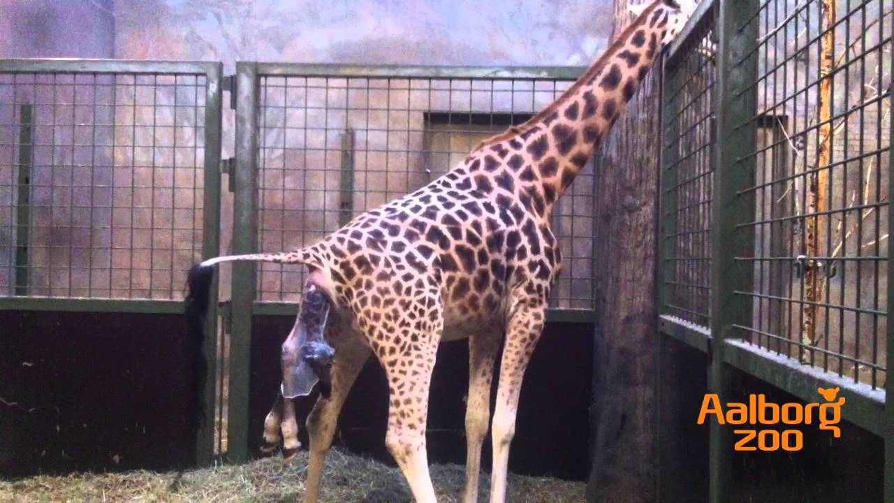 FisherPrice Soothe and Glow Giraffe  amazoncom