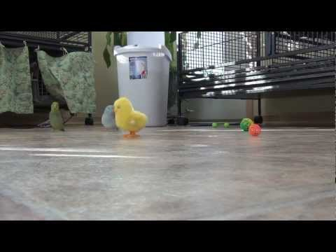 Easter fun with Indi and Wasabi, the parrotlets