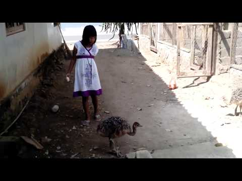 Anakan Burung Unta