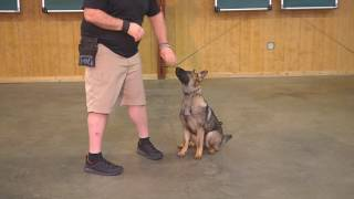 Oakley Six Month Old Female Sable German Shepherd Obedience/Protection Dog For Sale