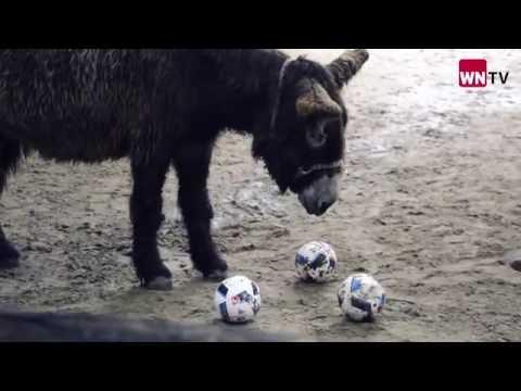 Esel aus dem Allwetterzoo Münster orakelt bei Fußball-EM 2016