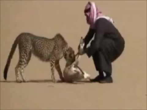 Гепард на охоте с хозяином