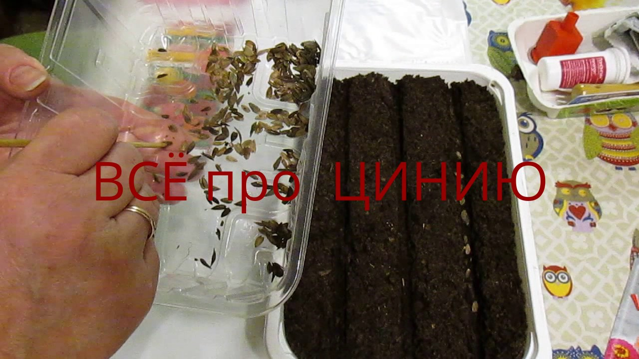Как сажать семена на рассаду цинии 16