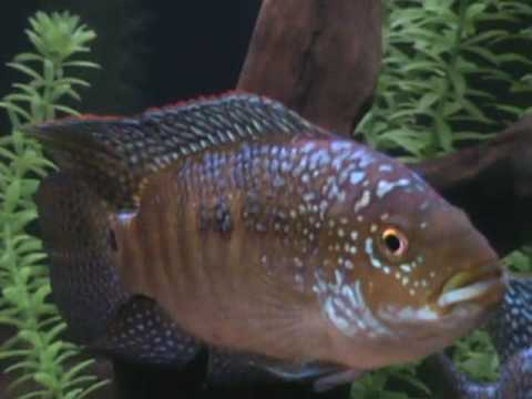 Jack dempsey fish and friends youtube for Jack dempsey fish