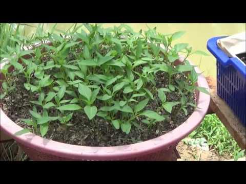 Cara Menyemai Cabe yang Mudah dan Simpel 4 hari Sudah Sprout