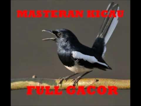 Masteran Burung Gacor | Suara Kacer Gacor Ngeplong The Legend 1 video