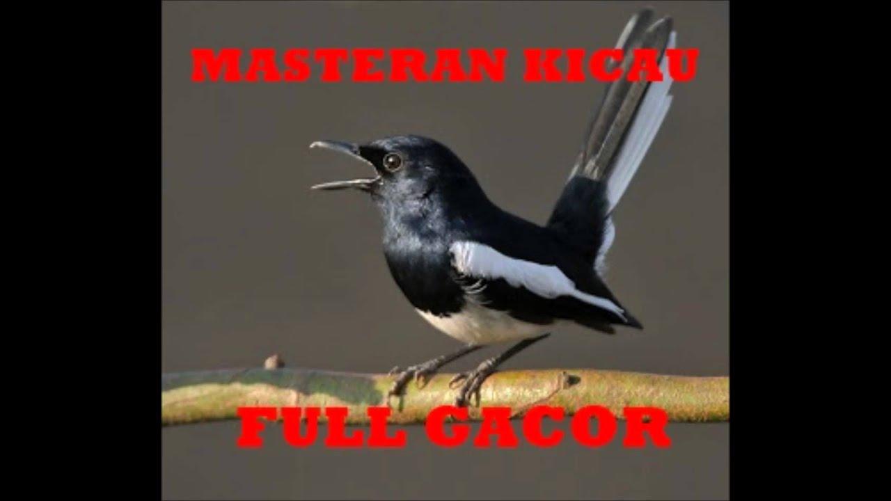 Masteran Burung Gacor