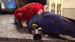 Hyacinth Macaw Zack and Green Winged Macaw playing