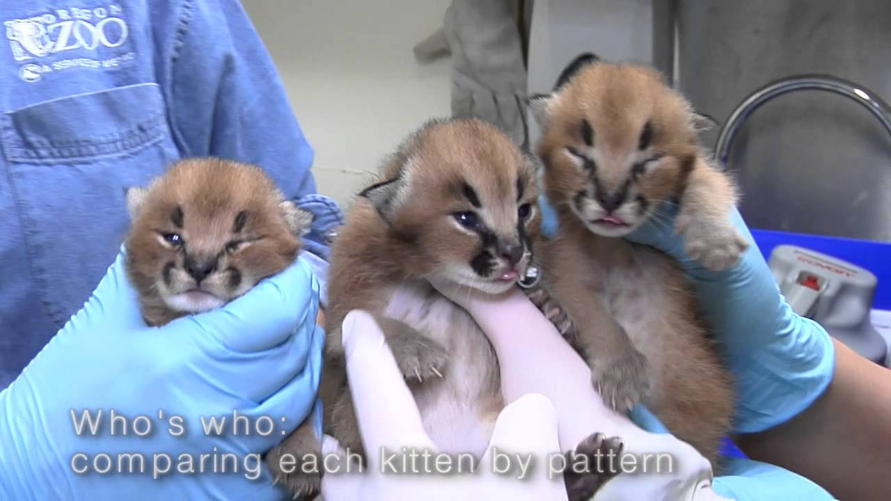 Wild Cat Petting Zoo