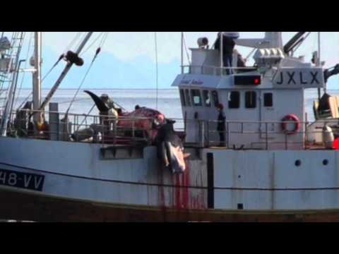 2015 Norway Whale Slaughter