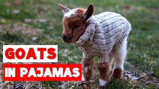 Goat Babies in Pajamas Compilation!