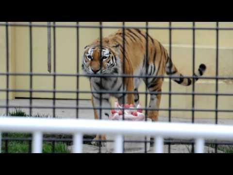 2011年5月22日 釧路市動物園 アムールトラ ココアのお誕生日会