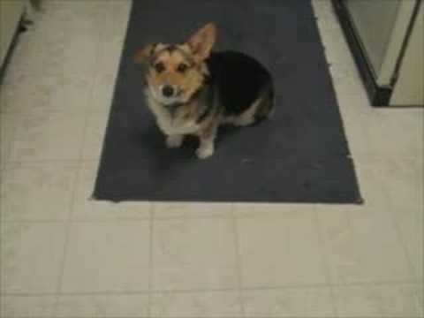 Corgi only listens to owner when he talks like The Beatles