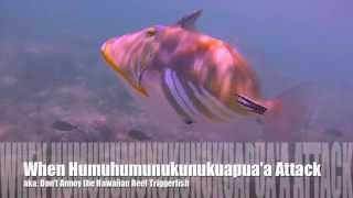 When Humuhumunukunukuapua'a Attack: Don't Annoy the Hawaiian Reef Triggerfish!