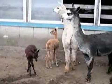アルパカの赤ちゃん