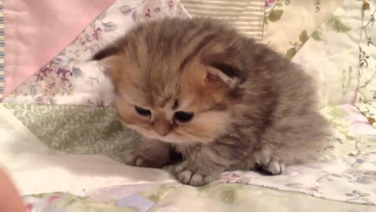 Micro Teacup Kittens