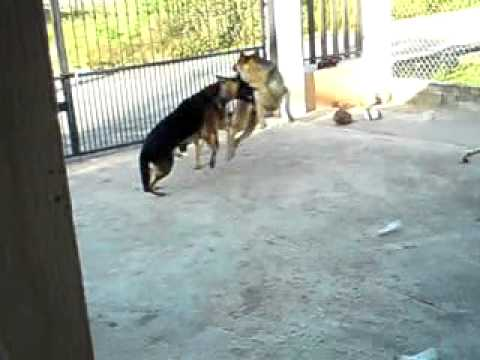 German Shepherds fight to the death (Keino & Kai vs ...