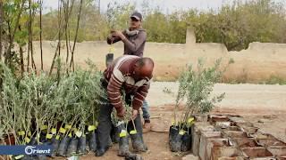 الفلاحون شمال غرب إدلب يسعون لتحسين أصناف أشجار الزيتون في حقولهم