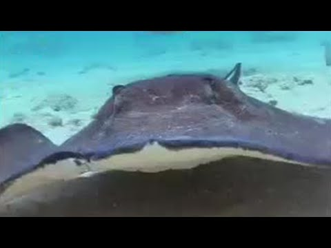 BBC: Wild Caribbean - Underwater World - Stingrays