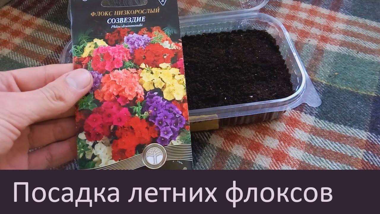 Когда садить флокс семенами