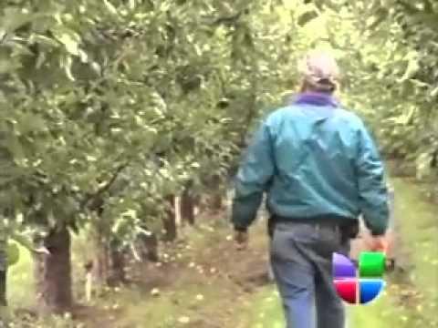 Siguen Buscando Jornaleros para Cosecha de Manzana