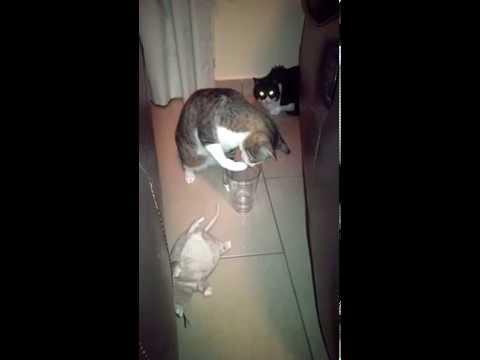 お水を飲んでいる猫を隠し...