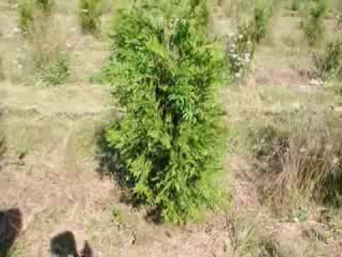 Learn How to Trim Thuja Green Giant Trees