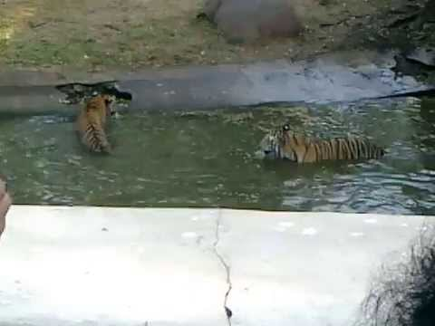 Nehru Zoological Park - 2 Tigers Playing each other by fighting